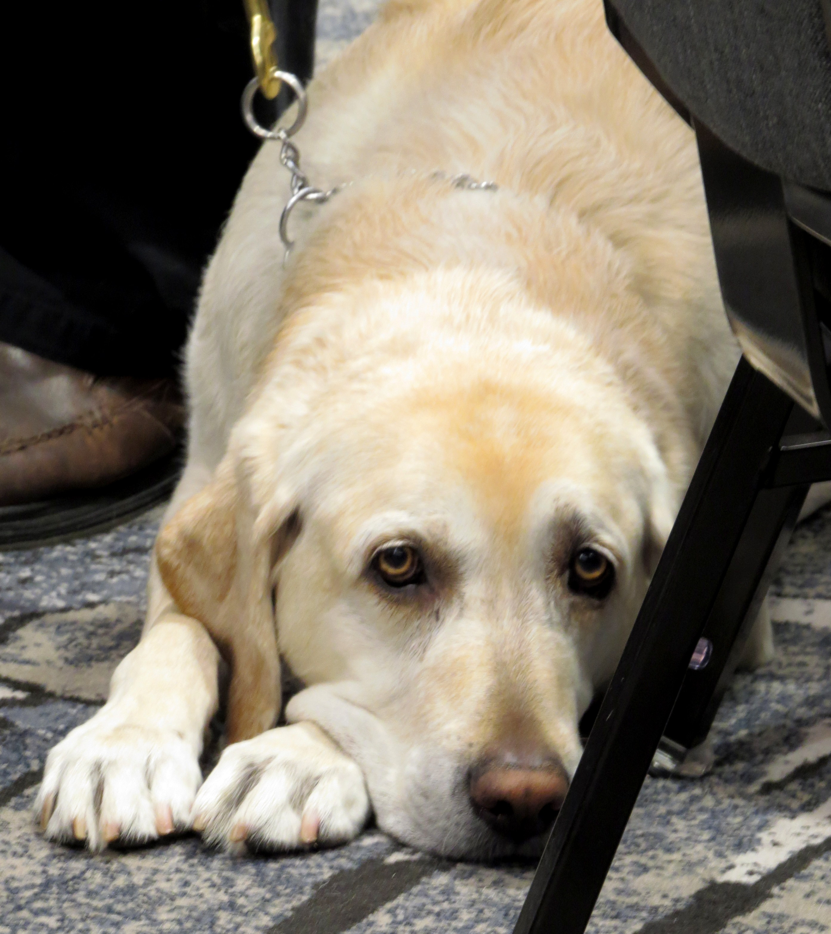 photo of Cody resting during a session, guide dog with John Hess